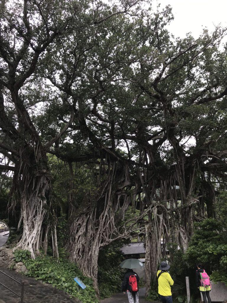 ガジュマルの大木