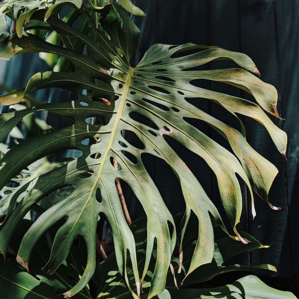 モンステラ-観葉植物