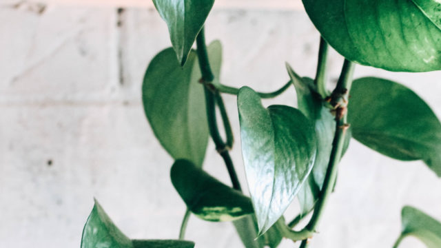 ポトス-観葉植物