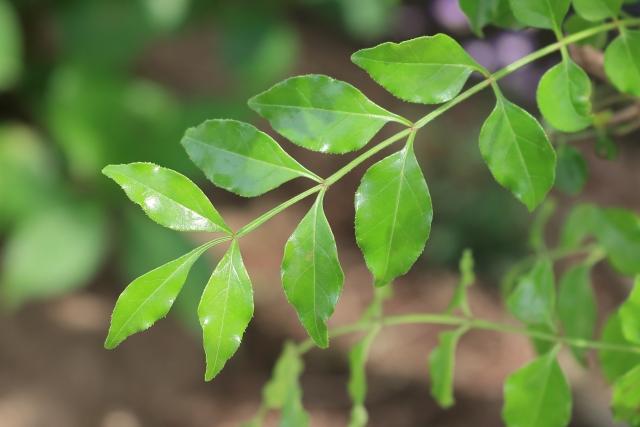 観葉植物 シマトネリコの葉