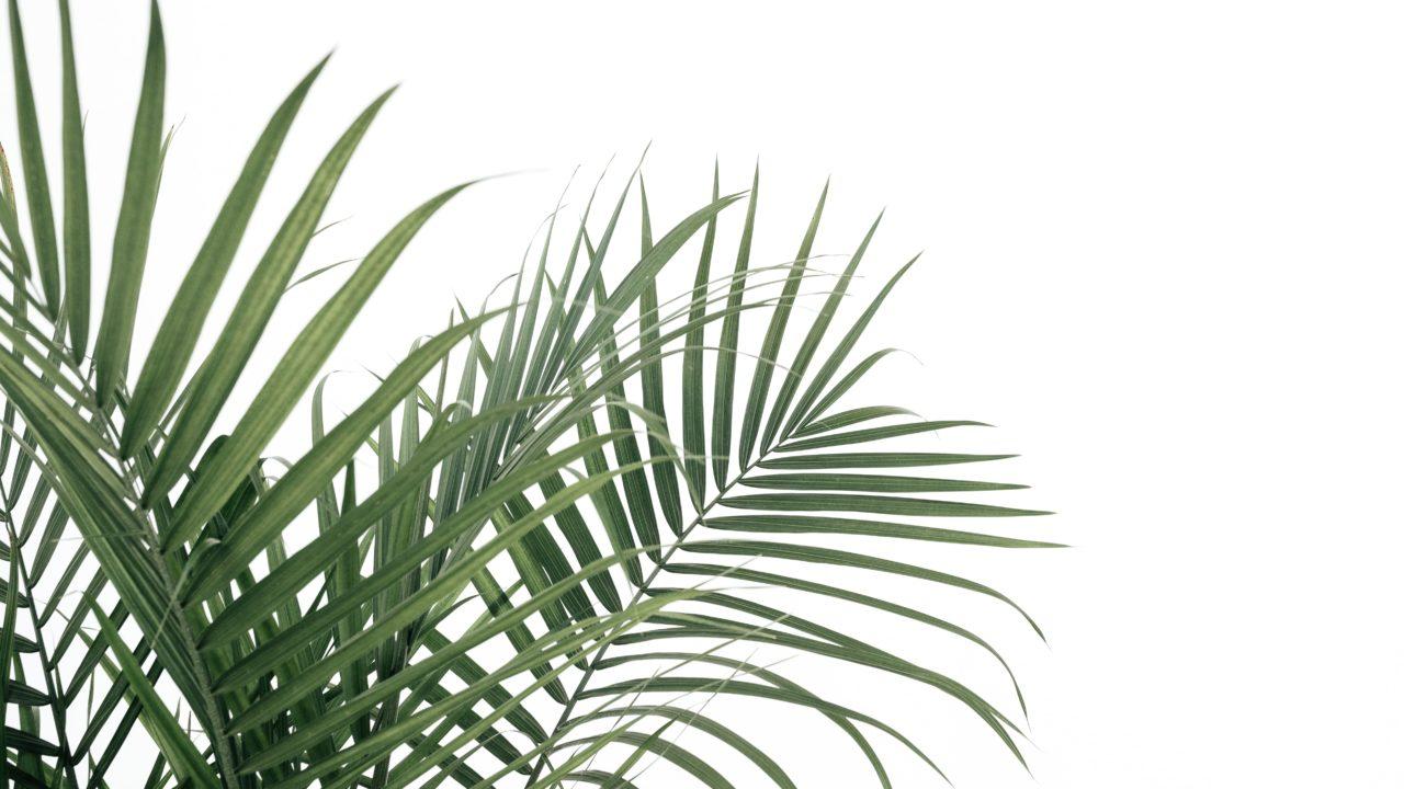 観葉植物 アレカヤシの画像