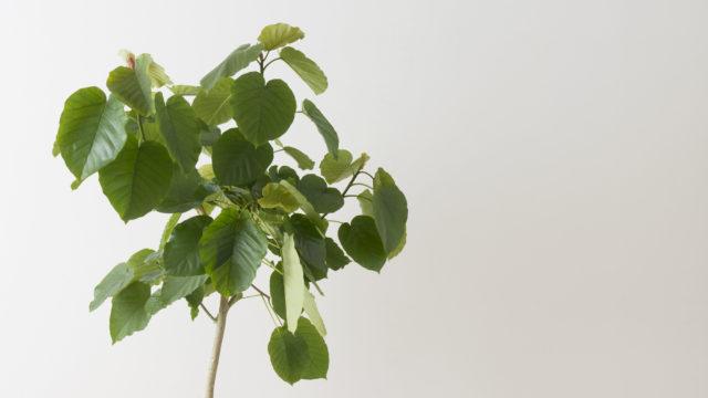 フィカスウンベラータの葉
