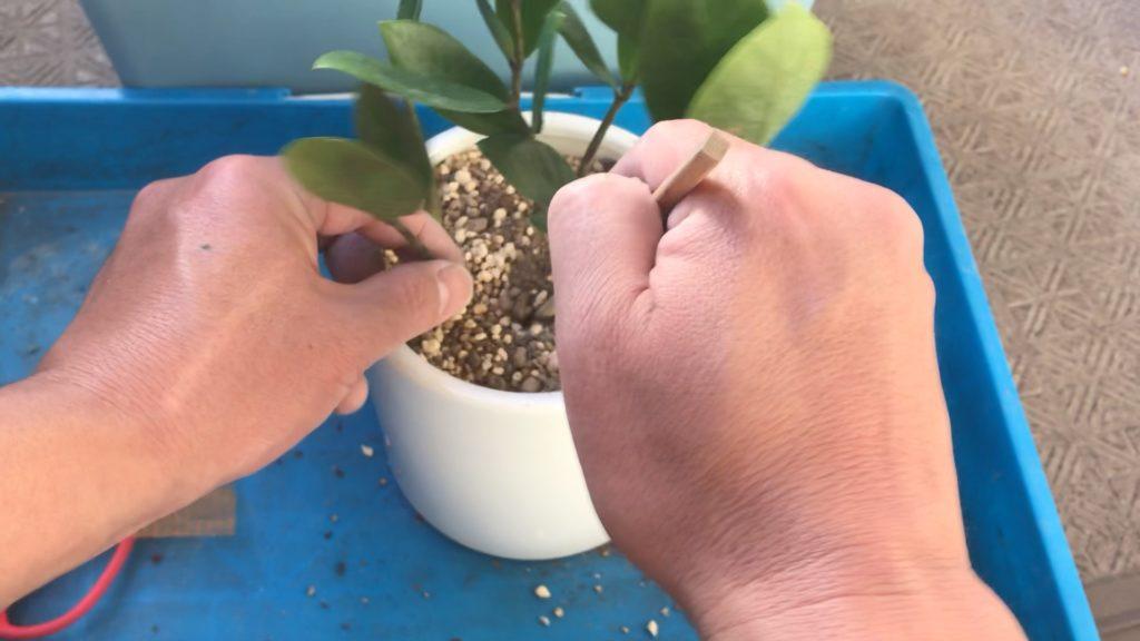 観葉植物の植替え、土入れ作業2