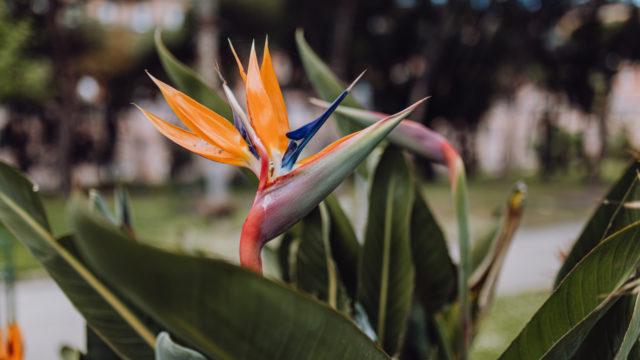 ストレリチア レギネの花1