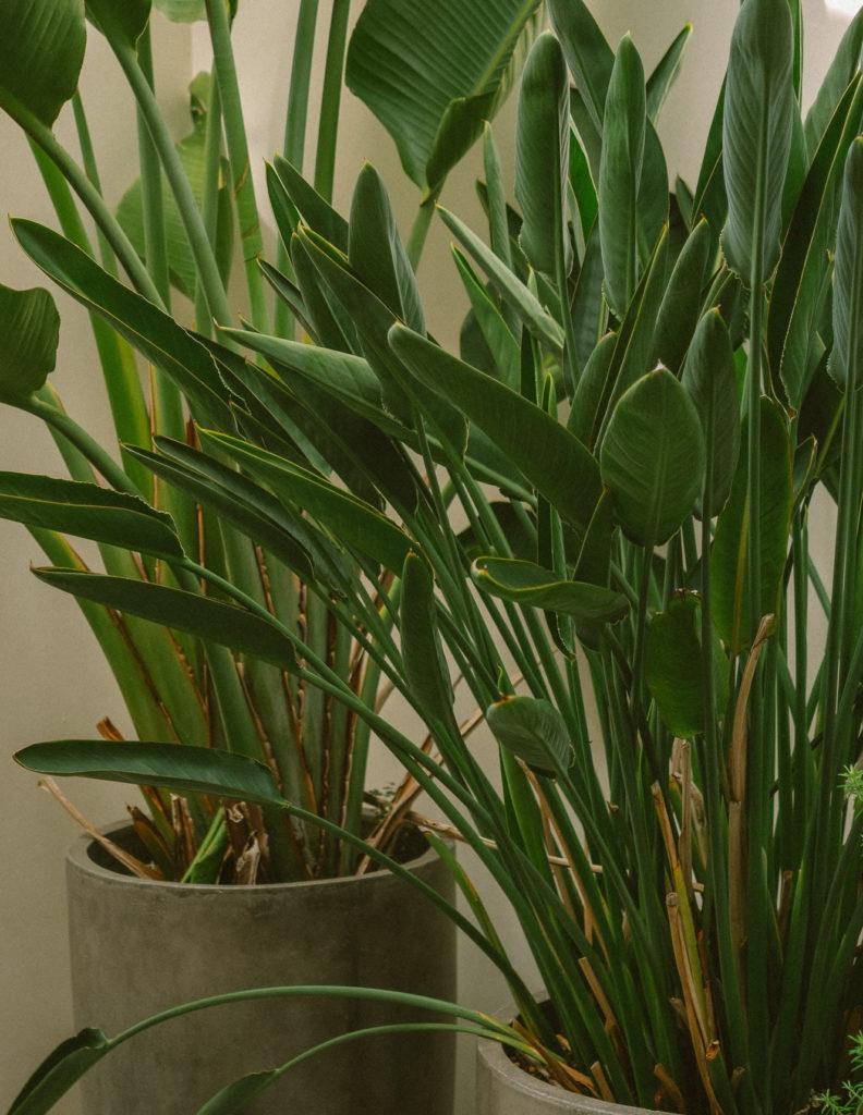 ストレリチア レギネの鉢植え