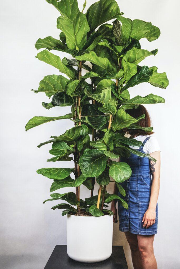 カシワバゴムの木-大鉢