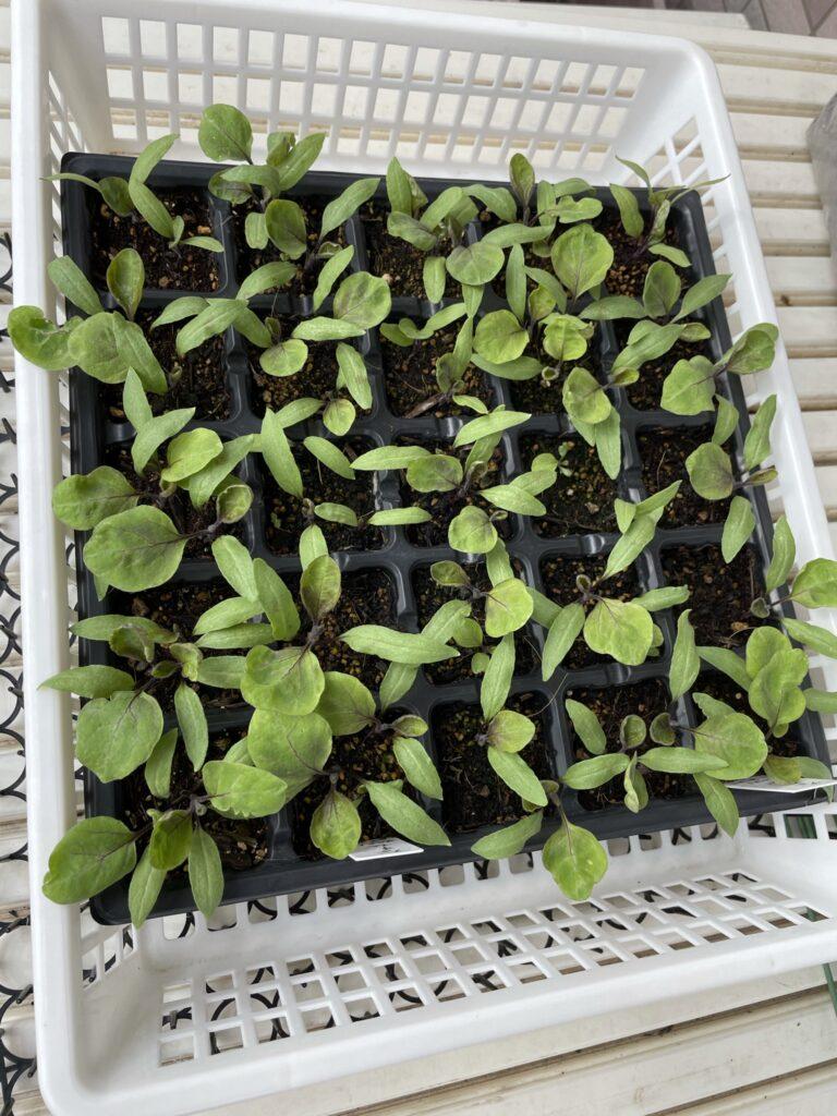 茄子の成長20210508